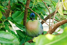 The Purple-crested Turaco Is A Species Of Bird In The Musophagidae Family