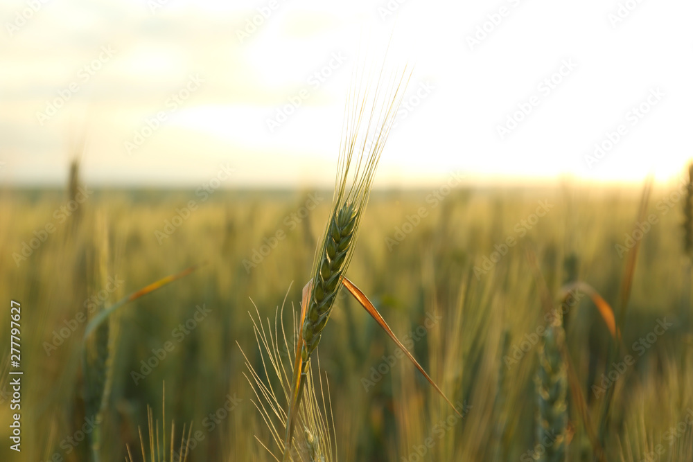 Fototapety, obrazy: Wheat field at sunset, closeup. Amazing nature in summer