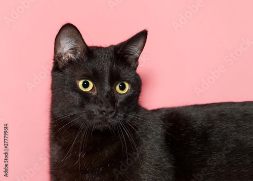 Close up portrait of a beautiful black cat with bright yellow eyes looking slightly to viewers right, along length of cats body. Pink background.