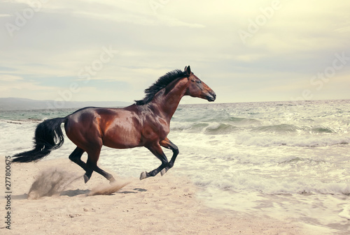 Poster de jardin Chevaux wonderful marine landscape with beautiful bay horse