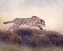 Cheetah Running  In The Grassl...