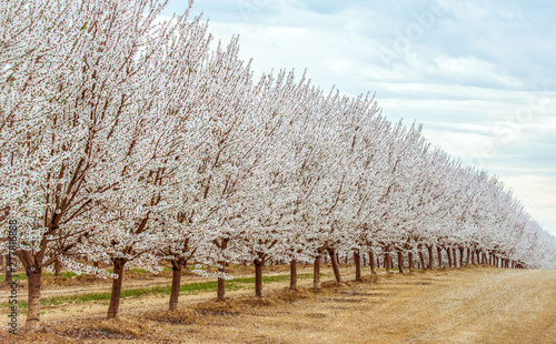 Canvas Print Northern California almond orchards in full bloom