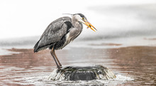 Grey Heron Catches And Holds A Fish During A Snowstorm