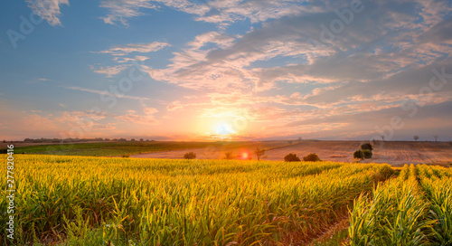 Sunrise over the corn field - 277820416
