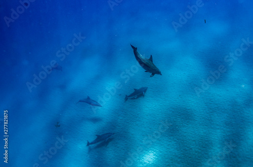 Fotografie, Obraz  A pod of dolphins while diving in crystal clear blue water