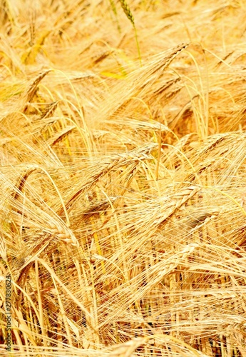 Fotografía  Wheat is a grass widely cultivated for its seed, a cereal grain which is a world