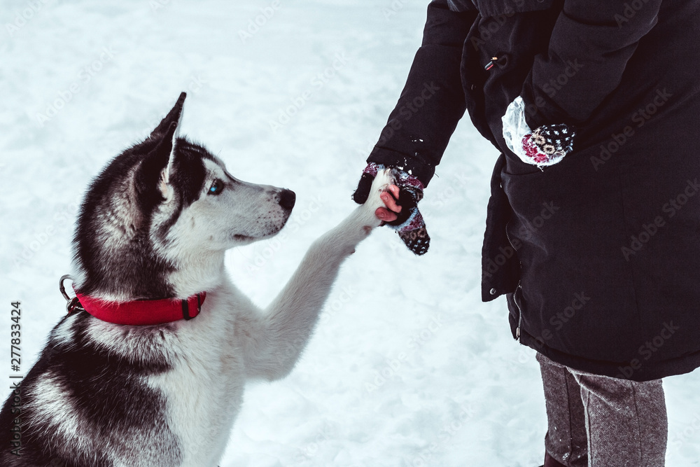 Fototapety, obrazy: beautiful husky dog gives paw to his mistress on walking in the park in winter