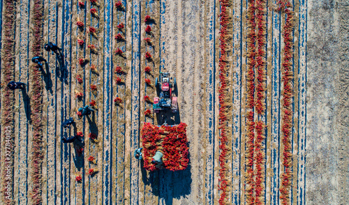Obraz red pepper field work aerial photography in Liaoning, China - fototapety do salonu
