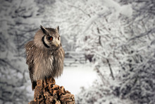 Stunning Portrait Of Southern White Faced Owl Ptilopsis Granti In Studio Setting With Snowy Winter Background