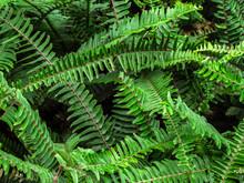 Top View Texture Of Tropical Green Shrub Nephrolepis Exaltata Sword Fern. Kimberley Queen Fern Bush