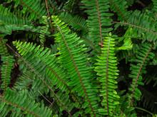 Close Up Tropical Green Shrub Nephrolepis Exaltata Sword Fern. Kimberley Queen Fern Bush