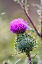 Thistle Buds And Flowers On A ...