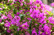canvas print picture - Bougainvillea flowers and leaves.