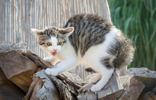 A Young Scared Kitten, Europea...