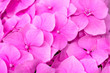 canvas print picture -  Gentle pink hydrangea (Hydrangea macrophylla). Flower close-up. Background of flowers.