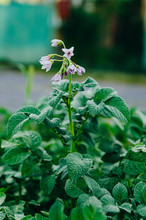 Agriculture - Flowering Potatoes In The Field. Potato Bush
