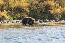 Brown Bear Swimming And Fishing In The River In Kamchatka.