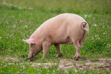 Large Female Pig Grazing In A ...