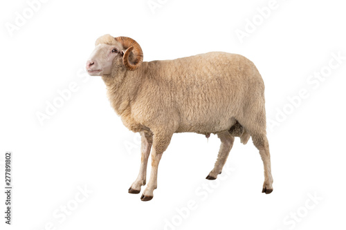 Deurstickers Schapen white ram isolated
