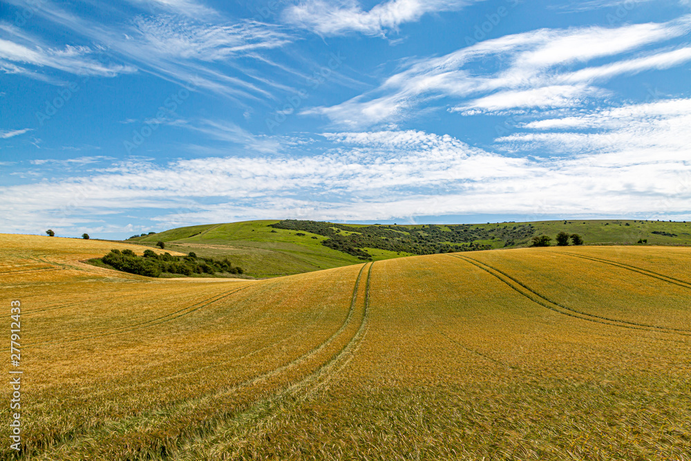 Fototapeta Golden wheat fields in Sussex on a sunny summers day