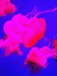 canvas print picture - Pink Jellyfish In Water