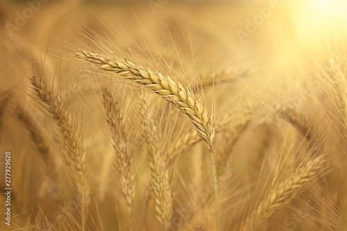 Foto auf Leinwand Honig Getreide