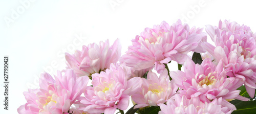 Fotomural Pink chrysanthemum; asters  flower. Nature background.