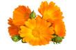 Leinwandbild Motiv Flowers with leaves Calendula (Calendula officinalis, garden marigold, English marigold) .  Medicinal herb. Selective focus