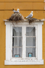 Seagulls Brooding On A Window Frame. Found In Nusfjord, Lofoten Islands, Norway