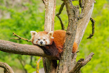 Red Panda Resting On The Tree