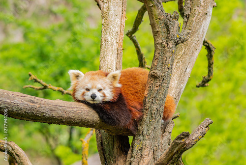Aluminium Prints Panda red panda resting on the tree
