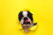 canvas print picture - Dog breed Boston Terrier pushes his face into a paper hole yellow.