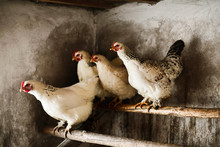 White Hens In Chicken Coop On Roosting Bar