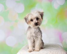 Morkie Yorkie Maltese Mix Dog Sitting Portrait