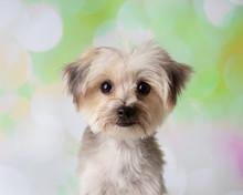 Morkie Yorkie Maltese Mix Dog ...