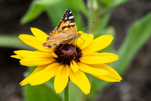 Butterfly Vanessa Cardui Sits On A Yellow Flower And Drinks Nectar With Its Proboscis.
