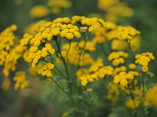 Yellow Tansy Flowers Tanacetum...