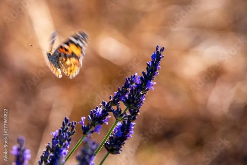 Fototapeta premium Motyle 15