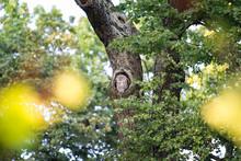 Tawny Owl In Tree Hole, Germany
