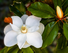 Magnolia Flowers In A Tree Closeup Vibrant Colors And Blurred Background