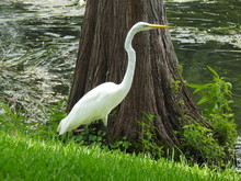 A Great Egret On A Shore Of A ...