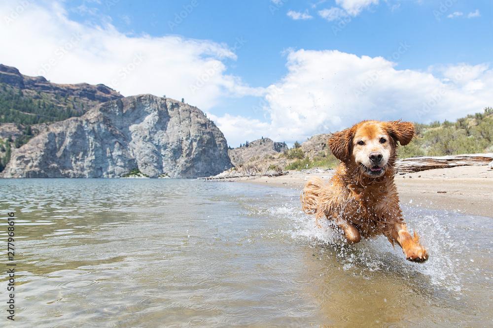 Fototapeta Happy golden retriever dog running fast and splashing in lake water