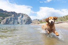 Happy Golden Retriever Dog Run...