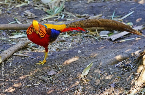 View of a Golden Pheasant multicolored bird (Chrysolophus Pictus)