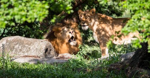 Cuadros en Lienzo A male and female lion