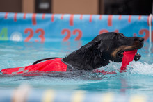 Black Dog Swimming With Toy / ...