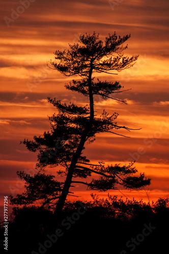 silhouette of a Pine tree at sunset Billede på lærred