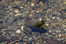 American Bullfrog On A Bed Of Pebbles In Shallow Water At Eagle Lake In Acadia Naitonal Park