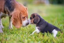 A Cute Little Puppy Beagle Kis...