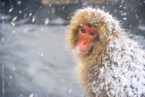 Close up and portrait of Snow monkey (Japanese Macaques) lonely feeling while sn Canvas Print